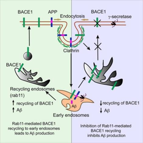 APP_BACE_biology-3